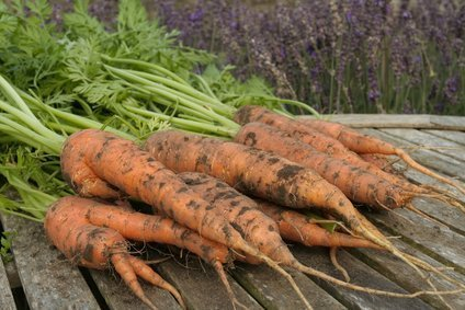 Companion planting for carrots