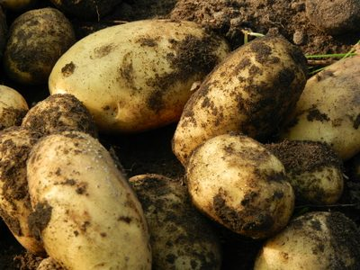 companion planting for potatoes